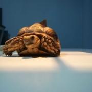 Clinique vétérinaire Laloubère - Tarbes tortues