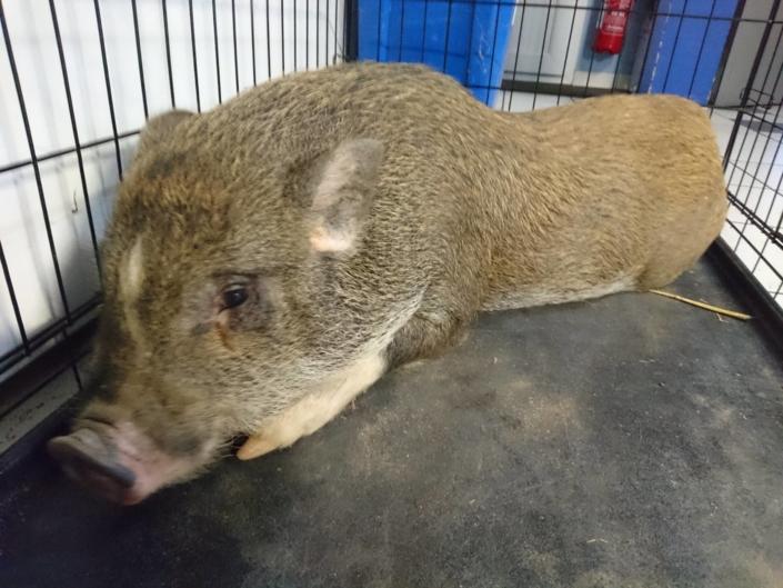 Clinique vétérinaire Laloubère - Tarbes cochons